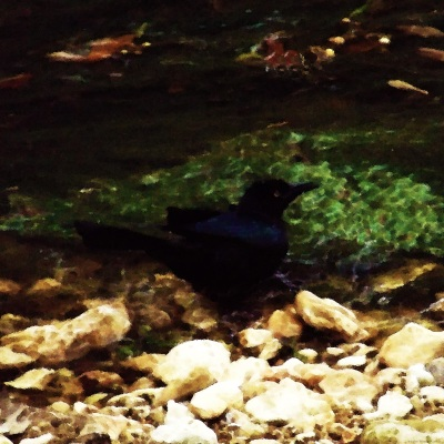 BLACK  BIRD  BY  THE  CREEK